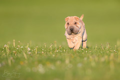 'Bear' (benstaceyphotography) Tags: northwales weprepark sharpei dog puppy walking cute sunshine evening golden hour canine nikon d800e 500f4 500mm