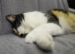 Unresponsible (donnicky) Tags: cat closeup colorful dof domesticanimal home indoors lying nopeople oneanimal pet portrait publicsec relaxation sleeping sofa лилу