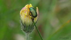 Ein Blattkäfer (Chrysiomelidae) an einer nassen Knospe (Oerliuschi) Tags: käfer tropfen drops blüte flowers beetle focusstacking heliconfocus postfocus panasonicgh5 lumix wet gelb yellow bud