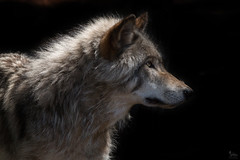 The Light Shines in the Darkness (NicoleW0000) Tags: gray wolf timber montebello parcomega animal wildlife carnivore predator