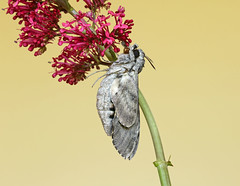 Convolvulus Hawk-moth - Agrius convolvuli (Roger Wasley) Tags: convolvulus hawkmoth agrius convolvuli macro moths insect british britain europe pupa