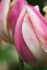 EG_045 (亞雲 Ed Lee) Tags: nikon d600 sigma 105mm f28 edward garden toronto botanical park outdoor evening afternoon overcast closeup macro portrait bokeh depthoffield plant color colour contrast bright detail floral spring bloom tulip petal flower stem pastel