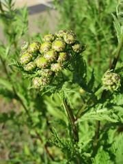 Tanacetum vulgare (anro0002) Tags: tanacetumvulgare
