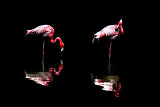 Flamingo 紅鶴