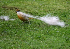 How Big Was This Dog? (Diane Marshman) Tags: female mature adult baltimore oriole gathering nesting materials dog fur hair pulling action motion spring northeast pa pennsylvania nature wildlife grass orange black feathers medium size bird