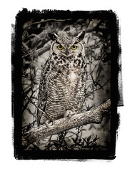GHO ~ Faux Gum Print (Johnrw1491) Tags: great horned owl high desert wildlife summer lake oregon marsh habitat textures post processing photoshop art blackandwhite monochrome tint sepia alternative process nature owls