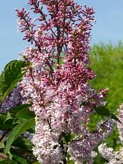 Wenn im Mai der Flieder blüht . .. (eagle1effi) Tags: bonlanden herma nature naturemasterclass filderstadt