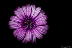 Purple daisy dark (makizekai16) Tags: african background beautiful beauty black bloom blooming blossom botanical botany cape closeup color colorful cutout daisy detail flora floral flower flowerhead fresh fun garden gift happy isolated light macro magenta natural nature osteospermum petal pink plant pollen purple romantic season single spring springtime square summer top view violet white yellow
