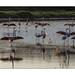 The flamingos waltz- La valse des Flamants -