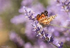 Bokeh and butterfly (Irina1010_OFF) Tags: lavender purple flowers bokeh butterfly nature beautiful fragrant pastel summer canon ngc npc specanimal