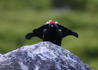 Black Grouse (Lyrurus tetrix)