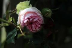 ... qui ce matin avait déclose... (Soem J.) Tags: nature rosa derosa 粉红色 وردي ピンク różowy розовый plant plante garden jardin macro flower morning rosée matin fleur bud pierrederonsard rose