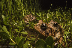 Neighbors (antonsrkn) Tags: anaxyrus terrestris bufonidae toad nature natural amplexus wideangle wildlife animal amphibian nc northcarolina usa nikon nikkor night nocturnal behavior toads southern coastal plains