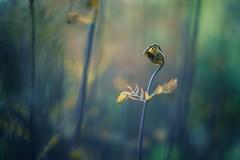 i am so shy (christian mu) Tags: flowers bokeh botanicalgarden botanischergarten christianmu münster muenster germany nature sonya7ii sony 50mm planar planar5014 5014 spring schlossgarten