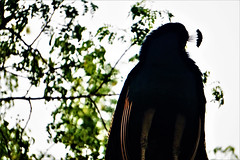 (mohammadammarhere) Tags: peacock shy bird national india beautiful crown sitting tree deerpark good place delhi click late post faces