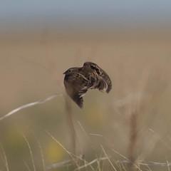 grsp-easterncimarronco-5-26-17-tl-03-cropscreen (pomarinejaeger) Tags: keyes oklahoma unitedstates bird grasshoppersparrow ammodramussavannarum