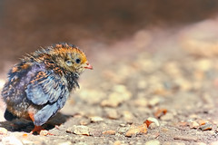 Baby Quail (PokemonaDeChroma) Tags: france bébé baby walk small path underthesun quail caille sigma 150mm canon eos6d cailledepeinte dof wildlife