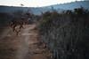 Galloping Kudu