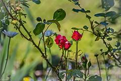 Rosier dans verdure. (Crilion43) Tags: arbres région véreaux feuillesfeuillage fleursetplantes centre paysages rosier roses pâquerette marguerite massif villes