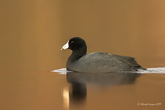 American Coot on still water (Chantal Jacques Photography) Tags: americancoot stillwater bokeh wildandfree reflection depthoffield