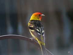 Male Western Tanager (fizzybeth) Tags: picmonkey