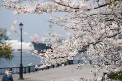 Sakura Aegis (Takashi REDUX) Tags: nikon d600 afsnikkor85mmf18g vernypark kanagawa japan