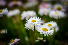 Daisies (WhiteShipDesign) Tags: daisy flower nature plant spring white chamomile blossom yellow meadow beautiful floral field summer green season fresh camomile sunlight outdoor natural garden growth environment bloom petal flora macro daisies