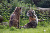 Sister Act 3 (Mel.Rick) Tags: sumatratiger tiger säugetiere natur tiere raubtiere raubkatzen groskatzen pantheratigrissumatrae burgerszoo arnheim inexplore explored nature animal