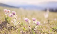 Inner light (Tracey Rennie - away) Tags: crocus wildflower prairiecrocus pasqueflower alberta skylineraod nature