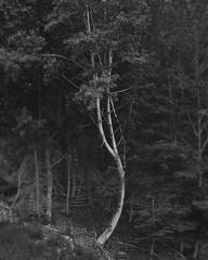 (NicoleCroce86) Tags: tiltshift connecticut blackandwhite softfocus selectivefocus nature trees soft