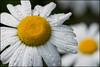 Two for One (Nikographer [Jon]) Tags: flowers brooksidegardens md maryland two 20170520d500072550 d500 dof bokeh macro may 2017 twoforone 105mmf28 nikon nikographer