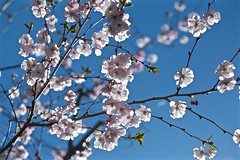 May the Light Shine on the People of London (smilla4) Tags: cherryblossom blue sky maine spring bokeh