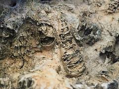 Mollusk fossils (Ilia K.) Tags: sedimentary bivalve evolution skeleton archeology time closeup science macro background jurassic prehistoric old fossilized animal sea stone shell cone remains extinct earth geology life rudist nature ancient paleontology limestone rock mollusk fossil