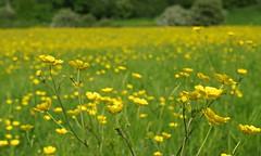 Buttercups (Blue Sky Pix) Tags: buttercups field yellow summertime flowers attractive winster derbyshire peak district national park england pentax bokeh