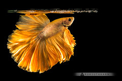 Colorful texture tail and fin fighting fish (Ruksutakarn) Tags: action aggressive animal aquarium aquatic background beautiful beauty betta biology black color colorful domestic dragon dress exotic fancy fight fish gold half isolated luxury moon motion nature pet power scale siamese space splendens swimming tail thailand tropical water white yellow