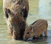 Everzwijn Anholt JN6A8403 (joankok) Tags: zwijn wildzwijn everzwijn wildboar boar mammal zoogdier dier animal europe europa anholt
