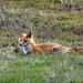 Red Fox in backyard - Alaska