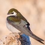 Violet-green Swallow (m) perching on Tufa thumbnail
