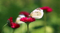 Cabbage Butterfly (Johnnie Shene Photography(Thanks, 2Million+ Views)) Tags: cabbagebutterfly butterfly whitebutterfly commonbutterfly pierisrapae pieris perching resting awe wonder feeding feeler sideview red daisy flower plant flowering floral flora animal animalandplant lepidoptera wings limbs korea asia macro closeup magnified adjustment fulllength spring day photography horizontal outdoor colourimage fragility freshness nopeople foregroundfocus interesting insect bug nature natural wild wildlife livingorganism tranquility peace beautiful calm depthoffield bokeh canon eos80d 80d tamron 90mm f28 11 lens 배추흰나비 흰나비 나비 곤충 접사 매크로
