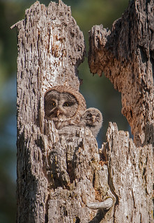 Great gray owl and chick