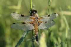 Libelle im Morgentau (Xtraphoto) Tags: early früh morning morninglight morgentau morgenlicht tautropfen tau insekt nature natur libelle dragonfly