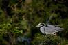 Yellow Crowned Night Heron Breeding Display (Mark Schwall) Tags: yellowcrownnightheron nyctanassaviolacea wadingbird bird newjersey nj nikon d300s nikkor600mmf4ais manualfocus markschwallphotographycom breedingplumage