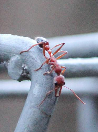 Myrmecia sp. (Bull Ant)