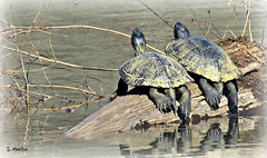 Turtle Yoga (Suzanham) Tags: turtle shell sunning basking carapace reptile coldblooded testudines sparkies bale turn ectotherms amniote wildlife nature tortoise turtles pond log lake mississippi noxubeewildliferefuge canonpowershotsx60hs slow