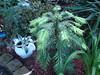 Wollemia Nobilis (2) 29.07.2010 (NashiraExoticGarden) Tags: wollemianobilis exoticgarden exotentuin 29072010