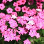 fringed pink / Dianthus superbus L. var. longicalycinus / 河原撫子(カワラナデシコ) thumbnail