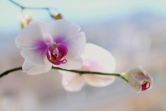 Orchid's dream (ashora_63) Tags: inmyterrace phalaenopsisamabilis orchids flora flowers 7dwf flowersbokeh 100flowers2017 awesomeblossoms blossom
