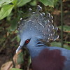 Mooi! (Geziena) Tags: vogel bird veren kuif zoo emmen dierentuin park adventure duif kroonduif