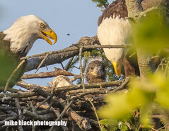 Bald Eagle pair and Eaglet (Mike Black photography) Tags: bald eagle eaglet bird nature birding big year nj new jersey shore photo canon 5ds r 800mm lens body is usm l tree raptor nest sky mike black june summer 2017 watching hawk