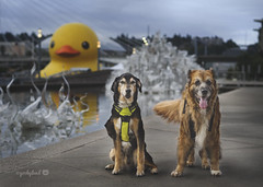 24/52 - giant rubber ducky (yookyland) Tags: 52weeksfordogs misty 2017 2352 dogs giant yellow rubber duck artist florentijnhofman tacoma harbor chihuly glass sculptures